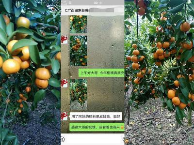 广西田东县柑橘种植户黄哥——稼乐夫水溶肥客户案例