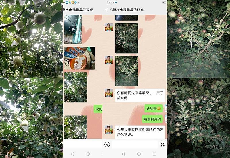 河北衡水武邑县苹果种植户武双虎
