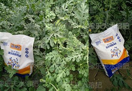 什么牌子膨果水溶肥用在西瓜上长势好?