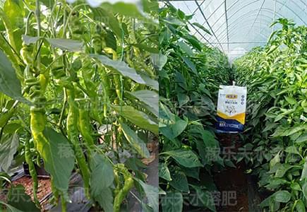 辣椒上用稼乐夫平衡水溶肥效果反馈,平衡水溶肥