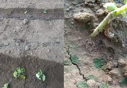 黄瓜上使用稼乐夫肥料效果