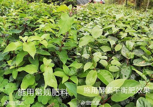 奇异莓苗上使用稼乐夫水溶肥和常规用肥对比