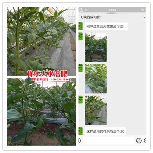 陕西咸阳番茄种植户史经理