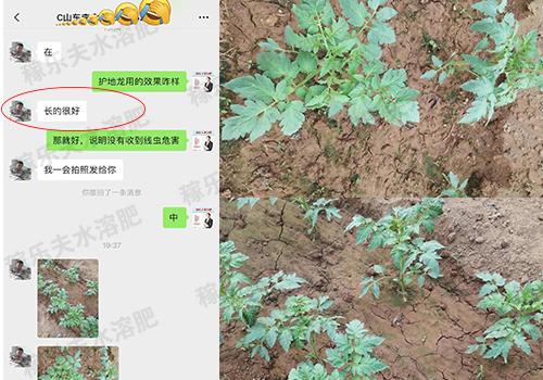 山东番茄种植户李经理