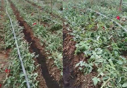 玫瑰花上使用微生物菌剂根腾活菌爆根效果