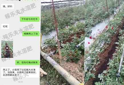 玫瑰花上用稼乐夫肥料效果