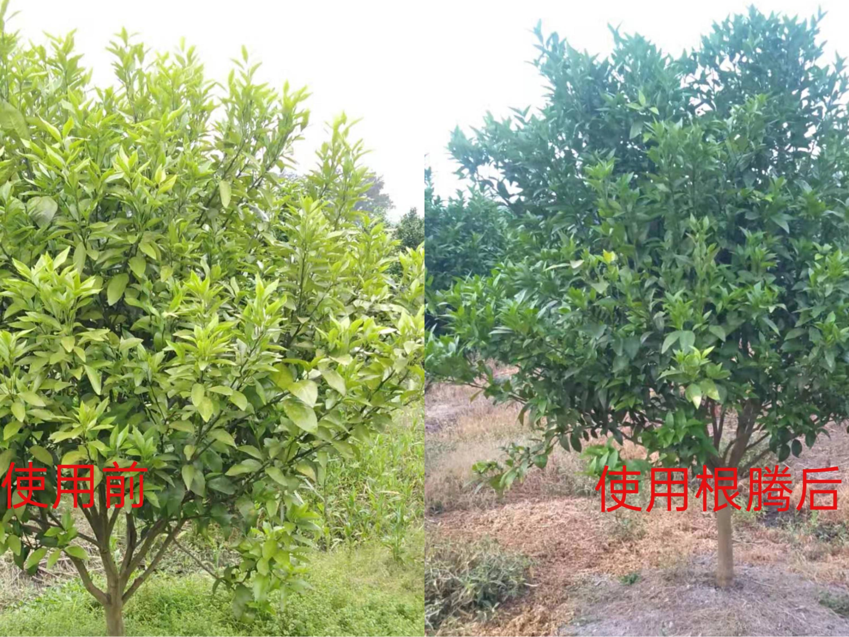 柑橘果树叶片发黄怎么办?
