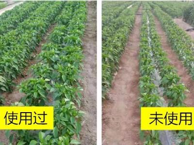 陕西榆林辣椒种植户郭大哥——稼乐夫水溶肥客户案例