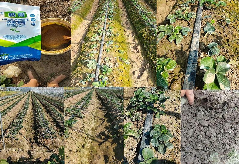 安徽淮南草莓种植户顾经理