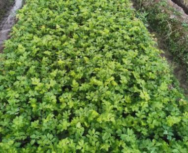 芹菜出苗快又齐用什么肥料?