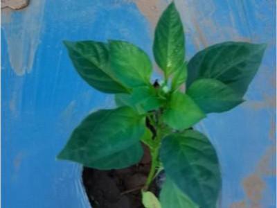 种植辣椒用什么肥料?