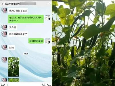 辽宁鞍山黄瓜种植户吴姐——稼乐夫水溶肥客户案例