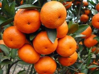 柑橘什么时间用微生物菌剂?