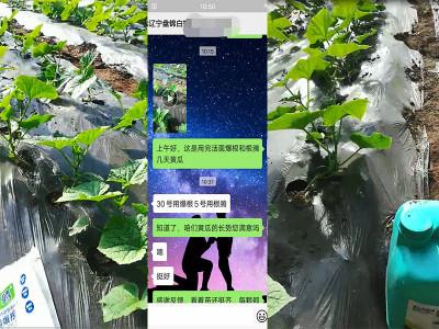 辽宁盘锦黄瓜种植户白经理——稼乐夫水溶肥客户案例