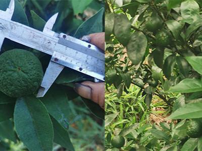 柑橘上用什么肥料能补充多种中微量元素?