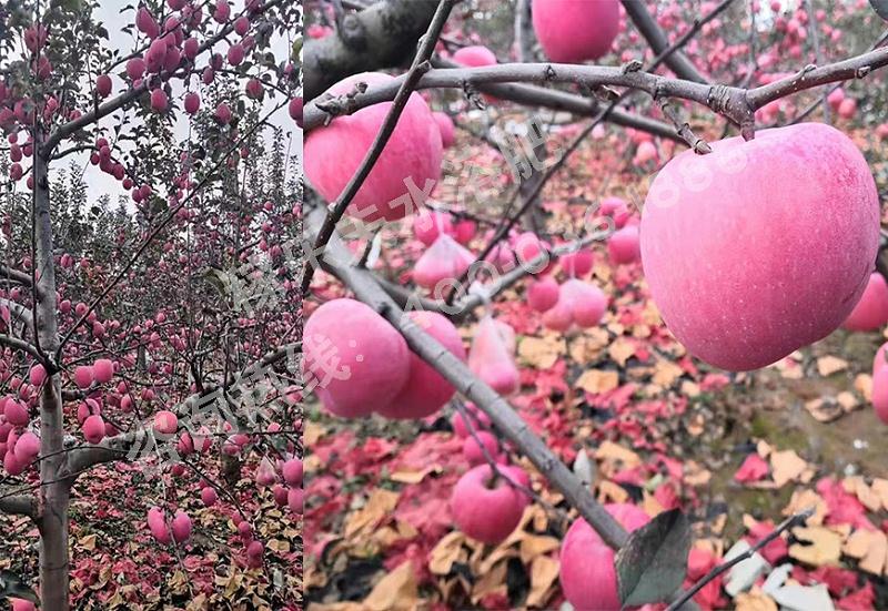 陕西渭南苹果种植户江经理