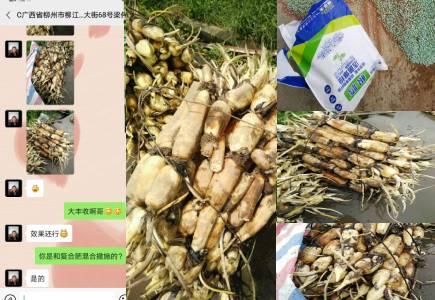 广西柳州莲藕种植户梁经理