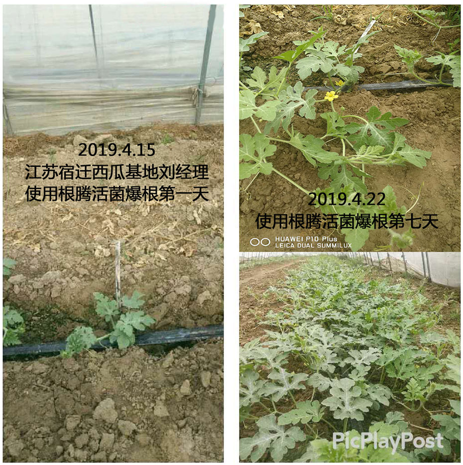 江苏宿迁西瓜基地刘经理-恒信农化客户案例