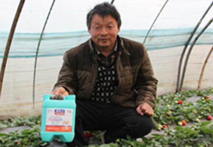 中牟草莓种植户刘大哥