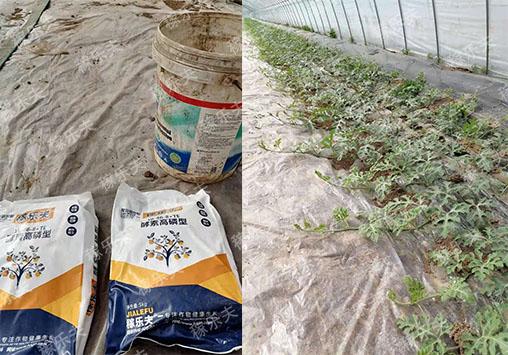 西瓜上用稼乐夫高磷水溶肥效果,稼乐夫水溶肥