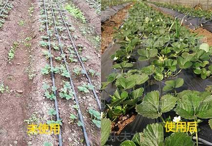 草莓施肥前后对比效果,微生物菌剂,水溶肥