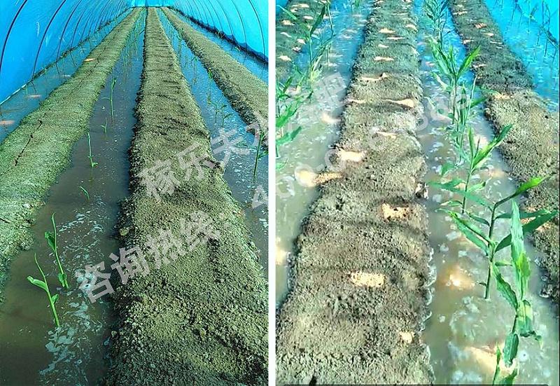 河北唐山大姜种植户
