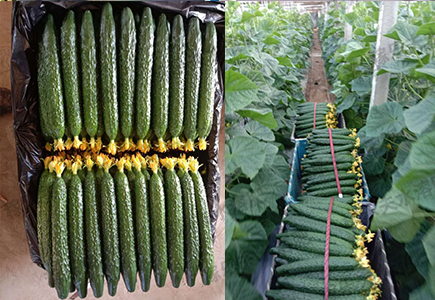 黄瓜使用稼乐夫厂家肥料效果
