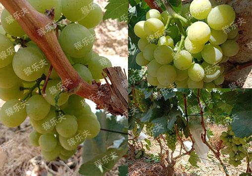 葡萄施什么水溶肥好?