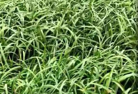 韭菜上用稼乐夫肥料的效果反馈