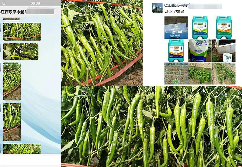 江西乐平市辣椒种植户余姐