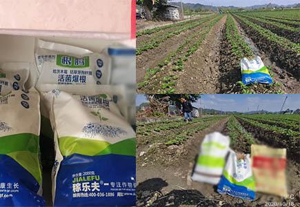 广西草莓上施用根腾活菌爆根肥效果