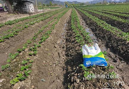 施用过根腾活菌爆根肥的草莓
