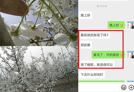 新疆梨树上使用