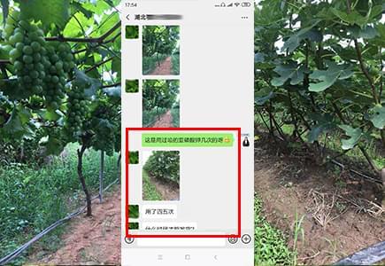 湖北葡萄种植户夏大哥
