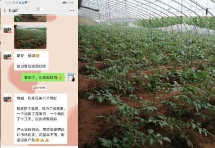 山西番茄种植户成经理