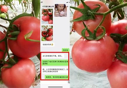 宁夏番茄种植户李姐