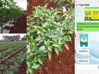 广东湛江辣椒种植户郑大哥——稼乐夫水溶肥客户案例