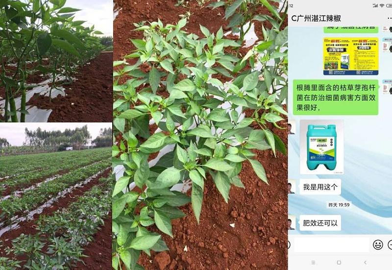 广东湛江辣椒种植户郑大哥