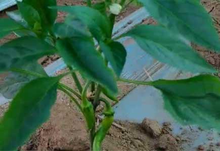 辣椒开花结果用什么肥料,微生物菌剂,水溶肥