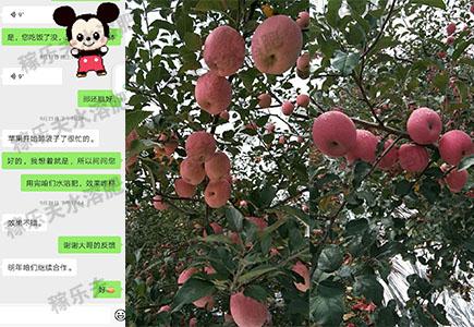 陕西苹果上使用稼乐夫肥料效果