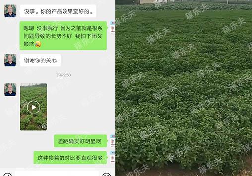 江苏盐城张经理菊花上施用微生物菌剂根腾反馈