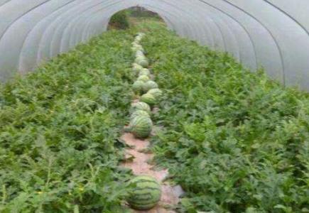 大棚西瓜上施用稼乐夫微生物菌肥