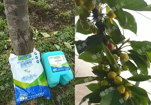樱桃树上施用稼乐夫生根水溶肥挂果多品质好