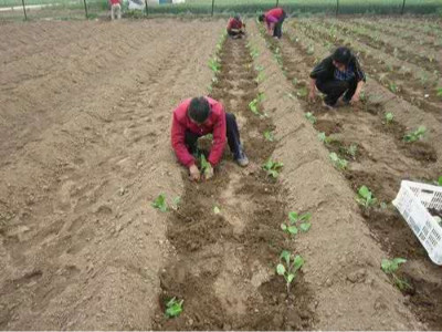 作物定植如何施肥?