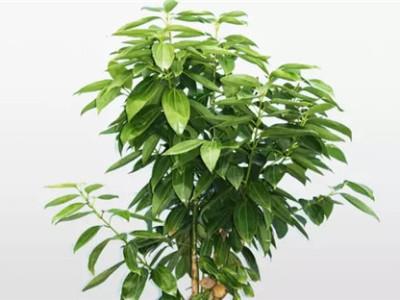 盆景树施用什么菌剂能够促生根、快长?