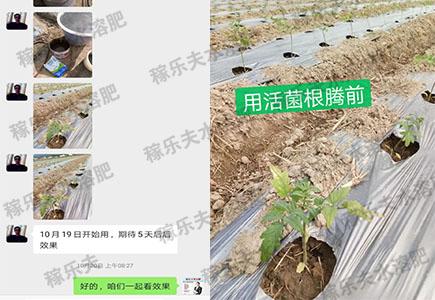 使用根腾活菌爆根肥前效果