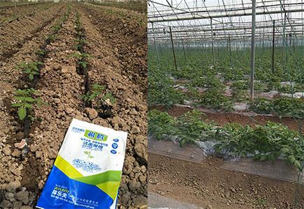 西红柿上施用稼乐夫肥料效果