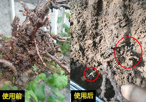 葡萄施用灭线虫护地龙和根腾活菌爆根前后对比效果,稼乐夫微生物菌剂