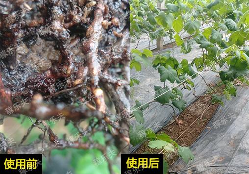 葡萄停止生长怎么办,稼乐夫微生物菌剂