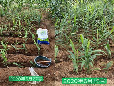 大姜使用根腾活菌爆根肥二十天对比